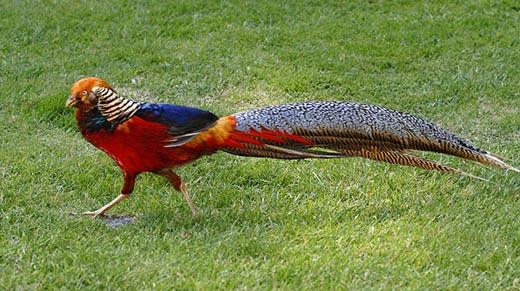 У кого из животных самый длинный хвост?