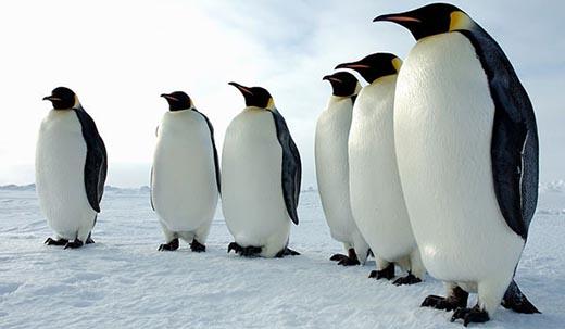 Почему пингвины не летают?