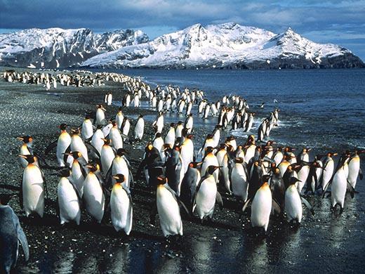 Почему пингвины отказались от полетов?