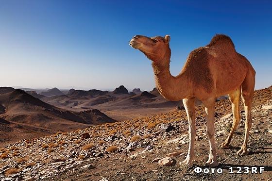Отчего у верблюда горб?