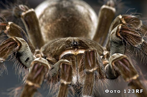 Самый большой паук в мире