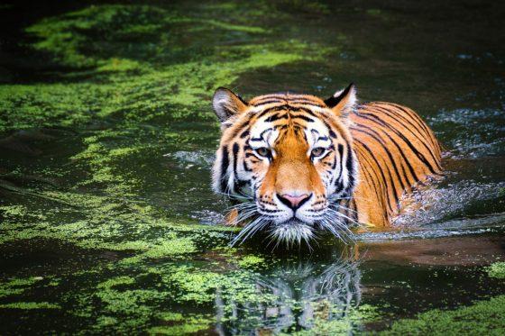 Где живут тигры в России и зарубежных странах?