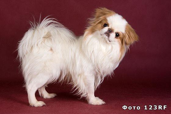 Японский хин - одна из мелких пород собак