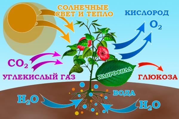 Что такое хлоропласты?