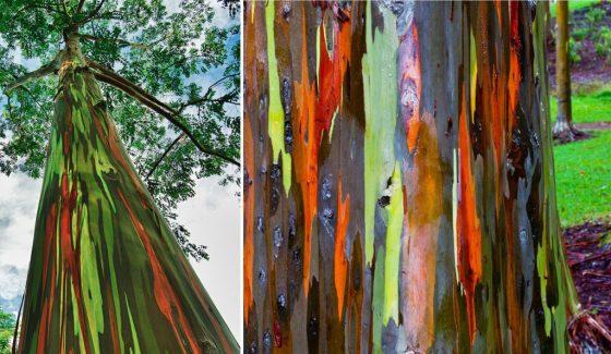 Цветы радужного эвкалипта