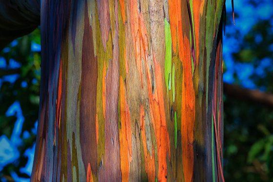 Радужный эвкалипт: особенности дерева