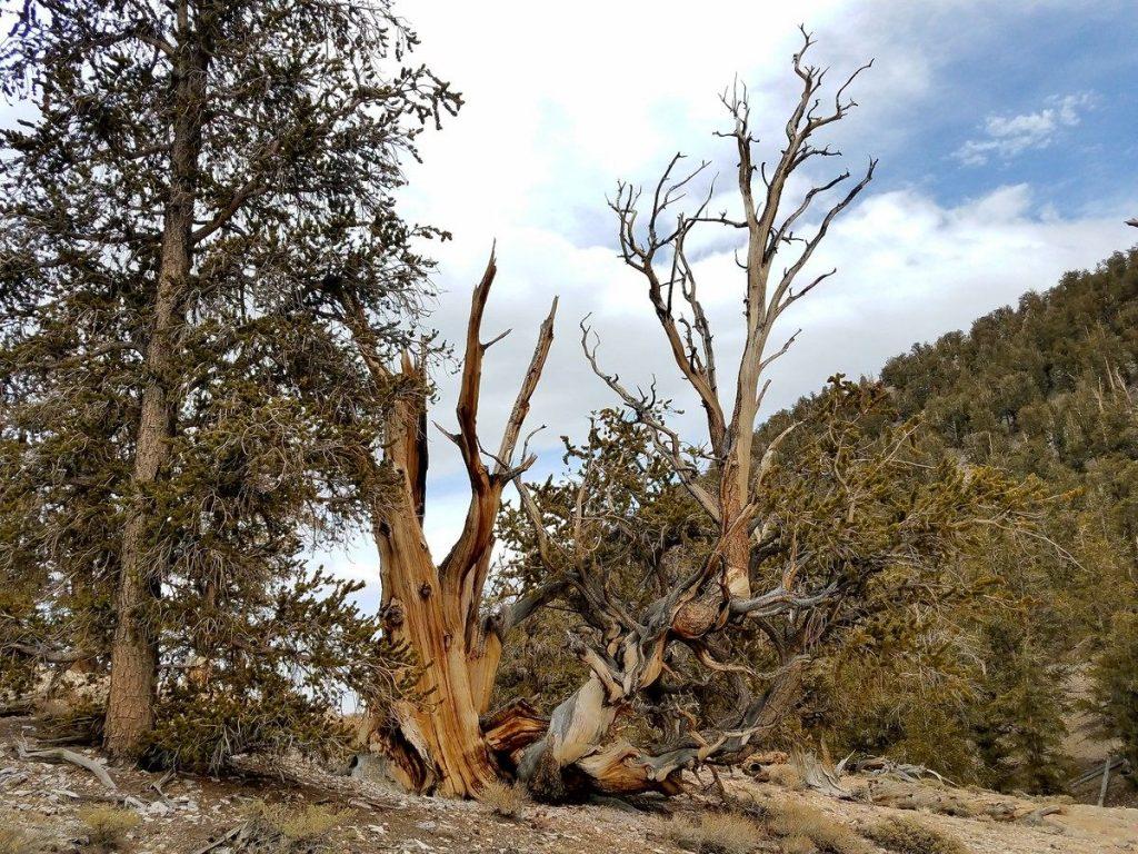 Мафусаил - самое старое дерево