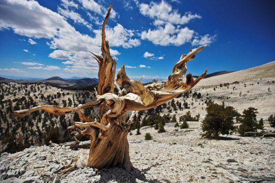 возраст дерева мафусаил