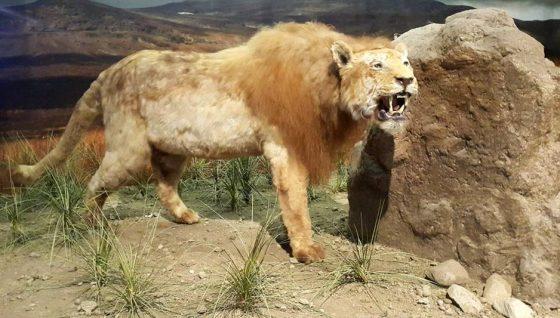 Американский лев: Panthera Leo Atrox