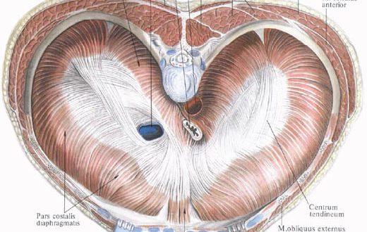 Как выглядит диафрагма