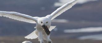 Что ест полярная сова
