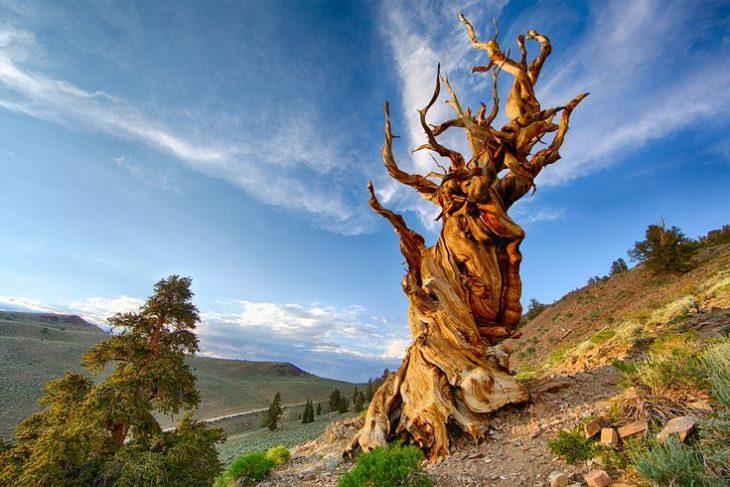 Мафусаил — одно из самых старых деревьев в мире