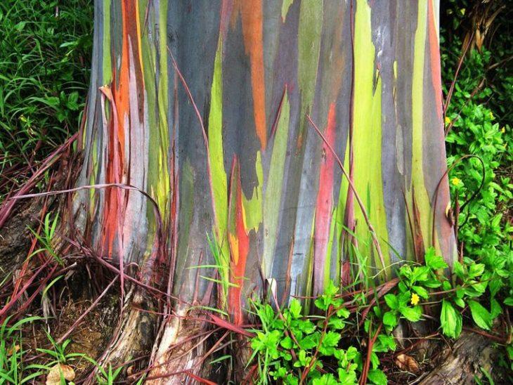 Дерево радужный эвкалипт