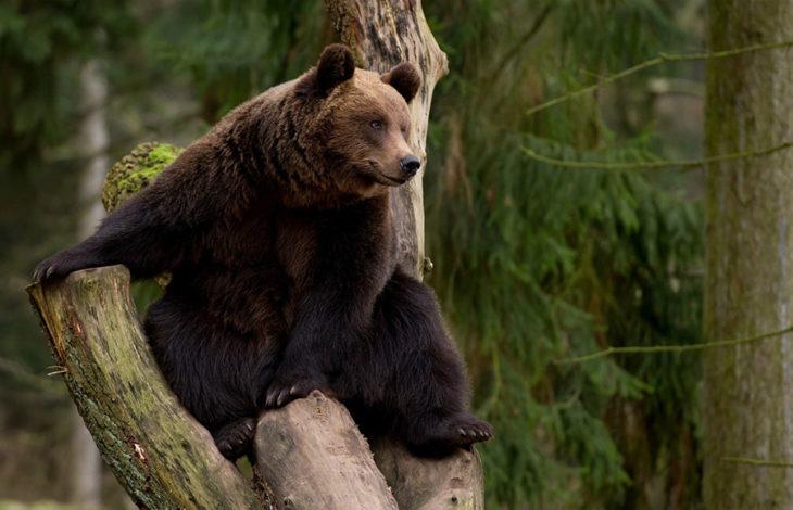 спячка у медведей