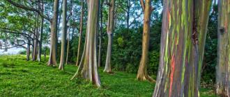 Где растет радужный эвкалипт?