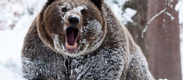 когда медведь впадает в спячку