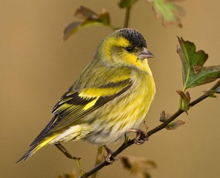 основные места обитания птиц чижей