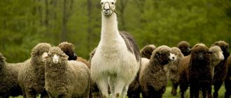где живут ламы