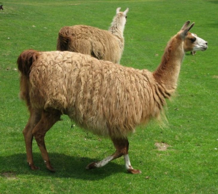 как выглядят ламы