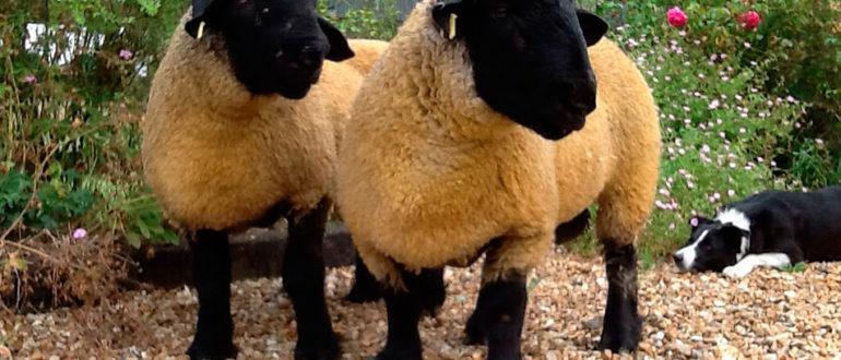 где живут овцы