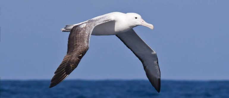 где живут альбатросы