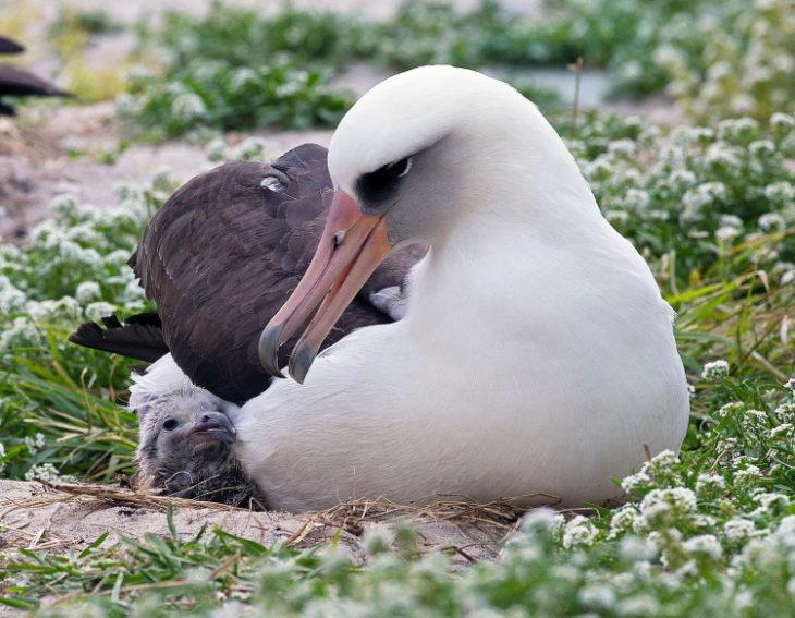как размножается альбатрос