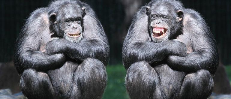 образ жизни шимпанзе