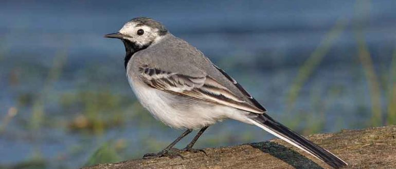 белая трясогузка птица