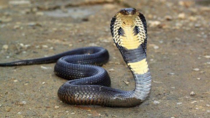 чем питается кобра