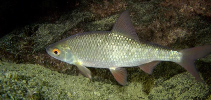 чем питается рыба плотва