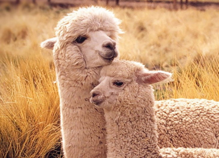 брачный сезон у альпака