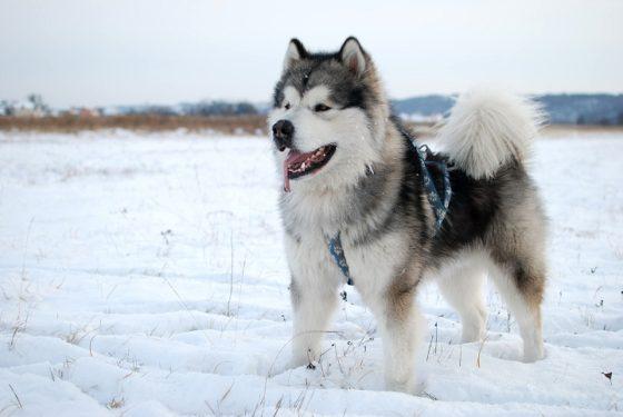 25 самых опасных и неуправляемых пород собак